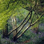 Bluebells-and-trunks-500-1